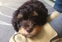 Doggie life / Pictures of our precious lagotto romagnolo