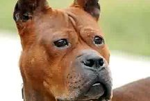 Chongqing dog