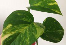 Australian native monstera devil's ivy golden by Medita1craft