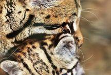 dwarf lepards