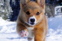Corgis and other cute puppies!