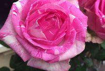 バラ*ROSE