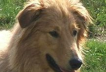 Gollies - the dogs / Hybrid dogs - Rough Collie and retriever mixes