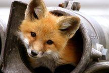 Foxes for Kiki / Sly One / by Brenda Valencia-Reitano