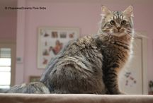 KODA - Pixie Bob Cat / Our gorgeous Pixie Bob Cat male, straight foot, bobtail and the wildest looks...x