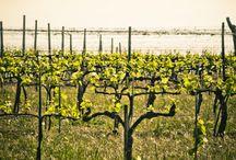 4 vinice a levandulovice