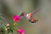 """Hummingbirds / They say that we all have a """"totem"""" or """"spirit""""...I believe the Hummingbird is mine.  There is something so free, delicate and charming about these little birds...they are a gift.  / by Judy York"""