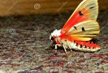 Tri colour tiger moth