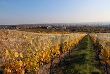 Vineyards 2015 / Pictures from the harvest 2015 in the vineyards of KARPATSKA PERLA in Slovakia. The vintage 2015 will be a great vintage!