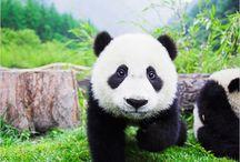 Pandas / by Sophie Bennett