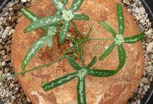 inspiresucculents&otherscaudiform