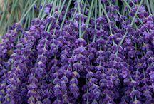 Lavender / Любимая моя Лаванда...