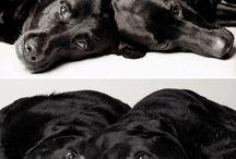 I Labrador I / Labrador Dogs