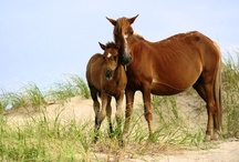 Wild, Wild Horses in Corolla, North Carolina / We are proud to share the beach with the wild Spanish Mustangs - to learn more, visit www.corollawildhorses.com