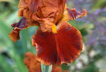 Lírios ou Iris