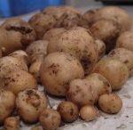 Vegetable gardening / Potatoes