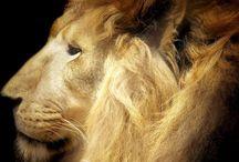 Lions / God's most magnificent creation.