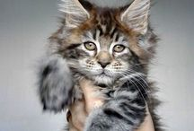 maine coon kitty's