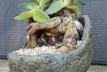 piante grasse bonsai