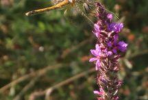 Libellules / Diverses photo ou dessin libellules