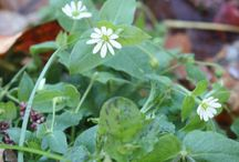 Edible weeds and wild food