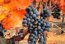 Wine Tours Chile / Do you a wine enthusiast then come to Chile! You can get wide information about some famous wine and will have fun from various activities.