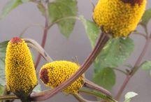 Brazil edible flowers