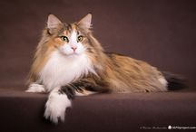 Norwegian Forest Cats, my passion Cattery KIYO'KAG*PL