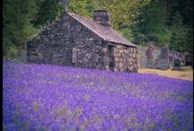Bluebell - the flower
