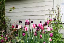 Tulips / Tulip delights. Planting ideas for tulips. Cut tulips. Container pots with tulips.
