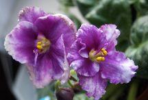 africké fialky / moje kvetoucí fialky
