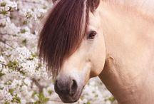 Fjord horses:)