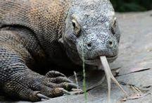 Komodo tongue