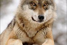 Lupi/wolf