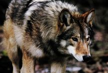 Wolves and Furries / For wild peoples