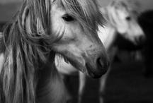Islandshästar
