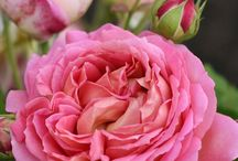 Rosas / A rose's perfume and beauty. There is nothing like it. / by Carla Martinho Burchell