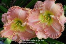 Daylilies- Dip - My Garden / by Kathy Green