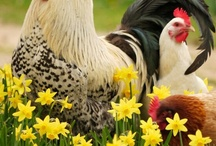 Roosters, hens, chicks, eggs, & coops. / Homeowners Association :0 (  I had chickens before and I would have them again. I am a collector of antiques of roosters and hens. / by Kim Long