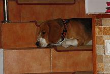 Jack, my beagle