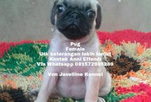 Von Javelline Kennel jual anjing Pug Female di Bandung