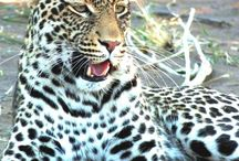 Big cats / The stunningly beautiful big cats of Africa