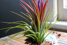 Tillandsia /Air plants