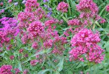 Perennials for Butterfly Gardening