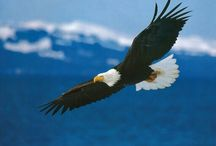 Bald Eagle Appreciation Day (January 18th) / Bald Eagle Appreciation Days are held the third weekend of each January.