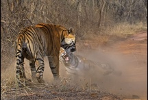 Tigress Battles Tiger in Ranthambore / by Ranthambore National Park