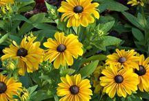 Q - T Guide to Summer Annuals: TOPIARIUS