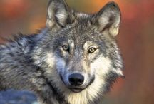 Wolves in Michigan / News, Information and Status of wolves in Michigan