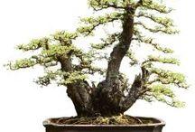 Bonsai Buah / Semua tanaman dalam board ini bisa dikirim keseluruh Indonesia, silahkan order ya, tel: 0341-599399 I SMS center: 08569020300 atau kunjungi website kami www.kebunbibit.id