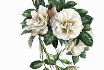 The Royal Roses of London / Lovely imperial folio rose prints from a limited edition of Coral Guest's The Royal Roses of London, Queen Mary's Garden.